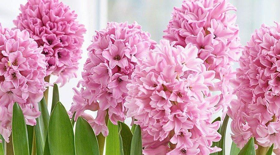 Jacinto cor de rosa