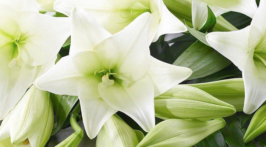 Lilium branco