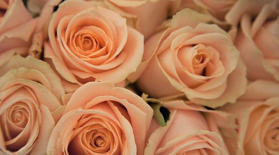 Rosa cor de salmão