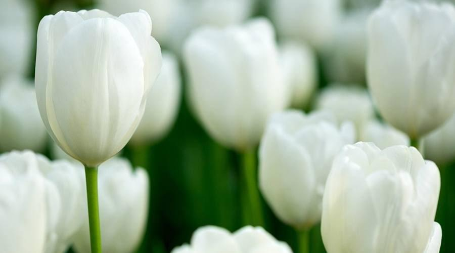 Tulipa branca